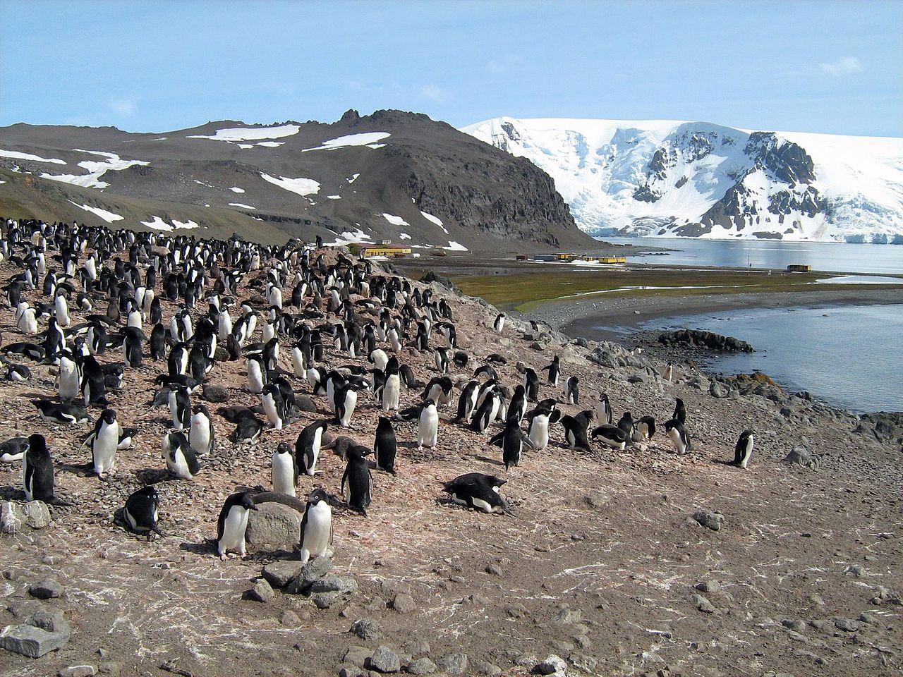Kolonia pingwinów na Wyspie Króla Jerzego, www.wikiwand.com/pl/Wyspa_Kr%C3%B3la_Jerzego